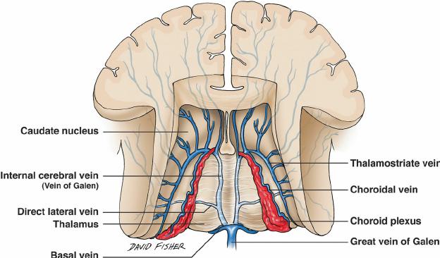 Galenic-venous-system-of-the-brain 10 zaujímavých faktov ožilách
