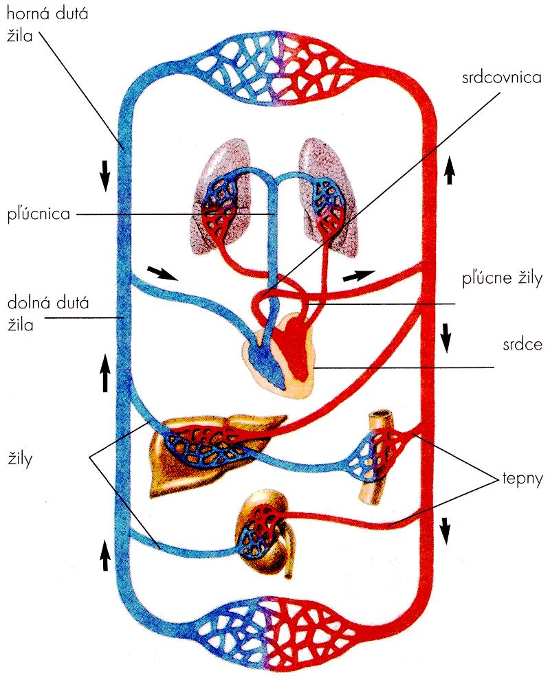 krvny-obeh 10 zaujímavých faktov ožilách